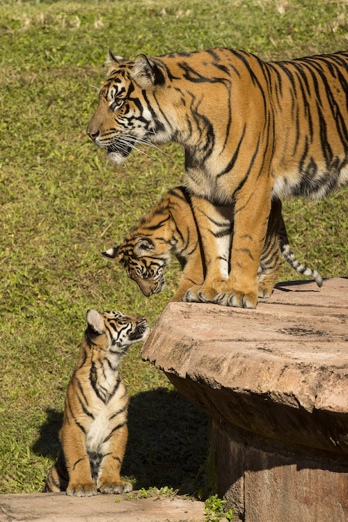 3 animals, tigers