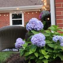 outdoor landscaping hydrangea