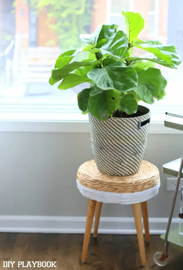 1-ficus-pandurate-bush-fiddle-fig-plant