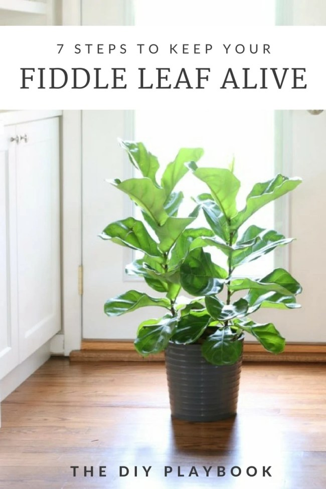 How to Keep Fiddle Leaf Alive