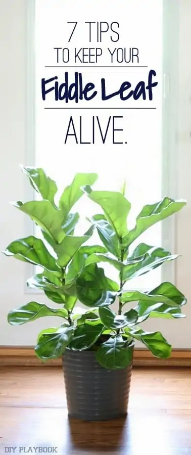 fiddle-leaf-survival-tips