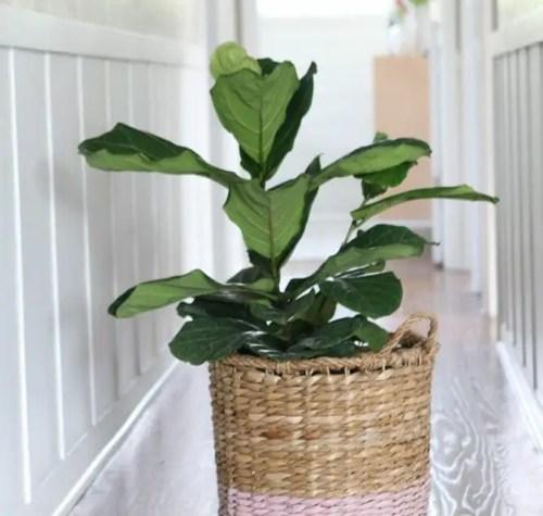 fiddle-leaf-hallway