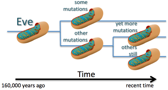 DNA Basics: Mitochondrial DNA – The DNA Geek