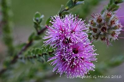 north-head-flowers-img_0014