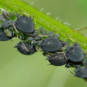 Aphids- like the one in my broccoli