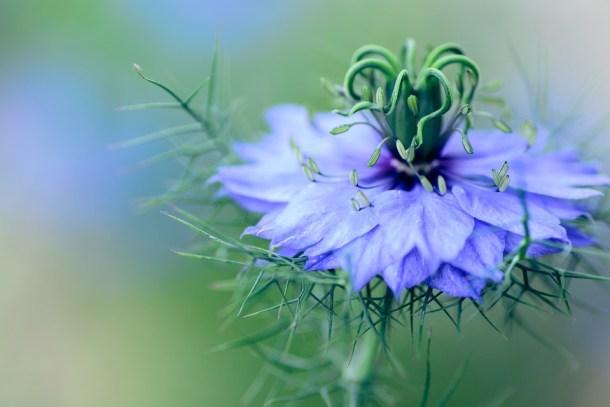 Nigella Sativa Plant