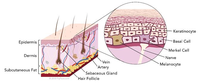 graphic showing skin anatomy 675 x 281