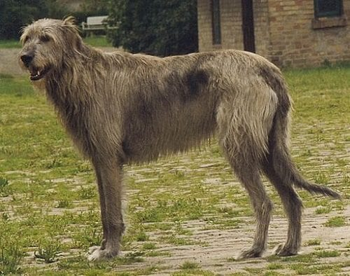 #AtoZChallenge 2016, I is for Irish Wolfhound, The Doglady's Den