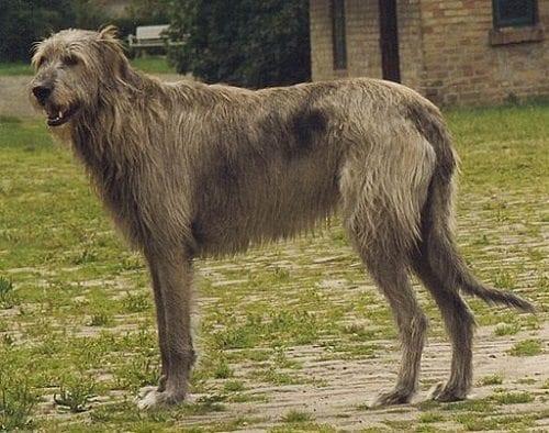 #AtoZChallenge 2016, I is for Irish Wolfhound, The Doglady's Den