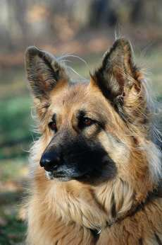 #AtoZChallenge K is for KING SHEPHERD