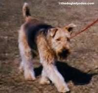 #AtoZChallenge 2016 A is for Airedale Terrier