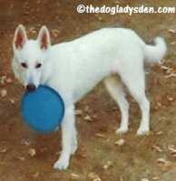 #AtoZChallenge: W is for White Shepherd