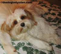 #AtoZChallenge 2016: H is for Havanese