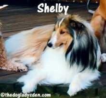 #AtoZChallenge: S is for Shetland Sheepdog