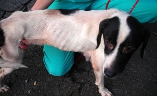 Emaciated Jackson Browne is Transported to The Dog Liberator and Finds His Forever Home
