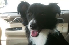 Blink, the Pocket Border Collie-Adopted