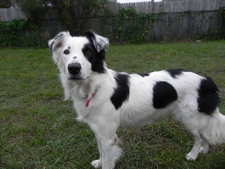 Hollie Collie, the Border Collie Girl~Adopted