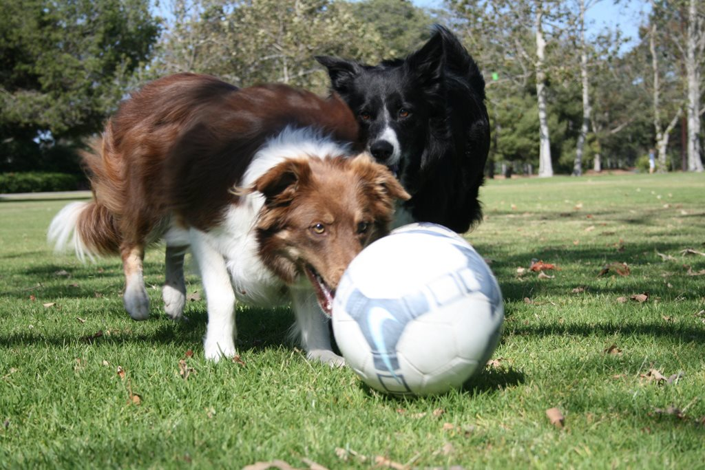 Soccer Collies Teams up with The Dog Liberator