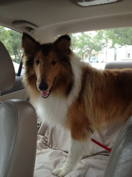 Prince Harry, the rough coat Collie