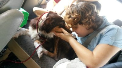 Claire Bear~Rescued Australian Shepherd was Shot At, Heartworm Positive and Facing Death