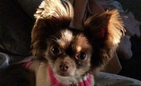 Do Chihuahua's help Asthma?