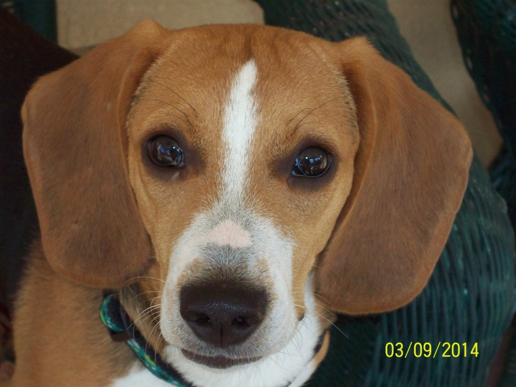 Toby the Beagle~Adopted