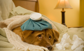 Pain relievers for pets