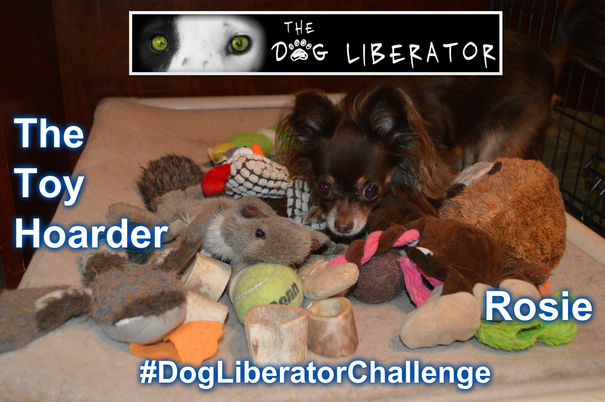 #DogLiberatorChallenge-The Hoarder Collie