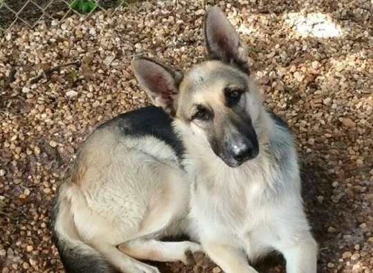 Lizzy Hale ~ The Gorgeous GSD ~ Adopted