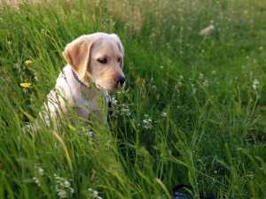 Are Labrador Retrievers Smart?