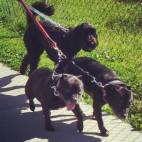 Marlie, Katie and Roxy happy to do what they know to do the best with Tail-Waggers dog walkers team: have fun!