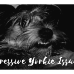 Aggressive Yorkie Here S The Fix Thedogtrainingsecret Com Thedogtrainingsecret Com