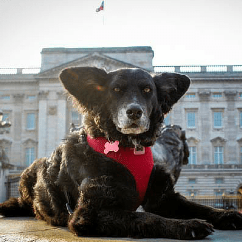 Pawcards from London – Belinha does Buckingham Palace