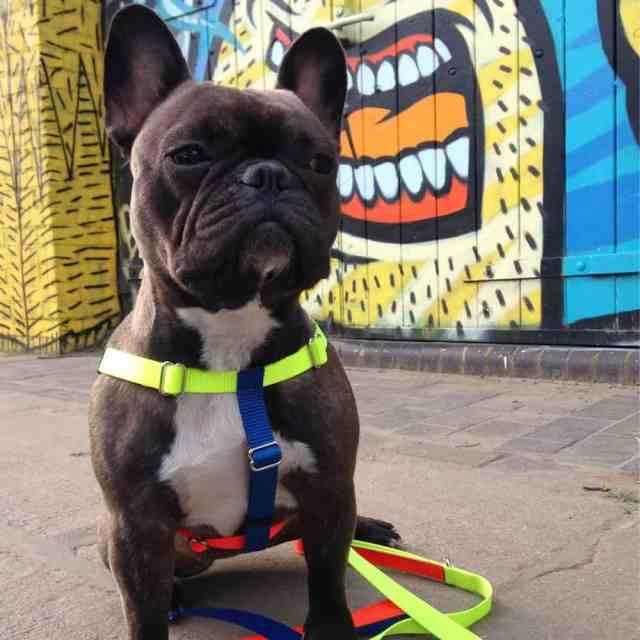 Leadthewalk.com - FRANKIE-WARE-OF-THE-DOG-HARNESS