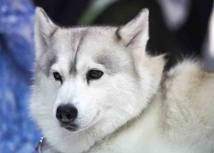 National Pet Show London 2016 - Husky