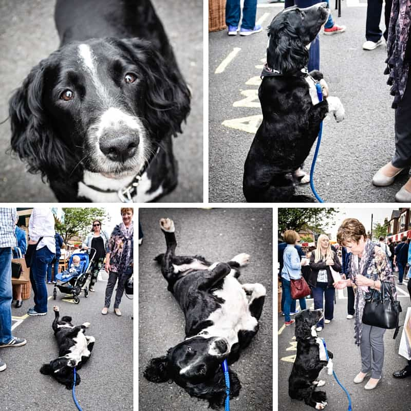 Charlie The Springer - The Mayhew Animal Hiome