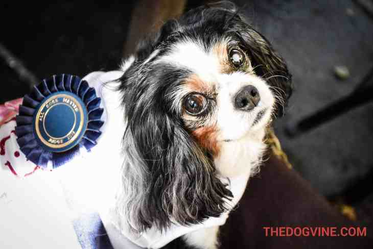 Lucy The Rescue Cavalier - Pup Idol 2016