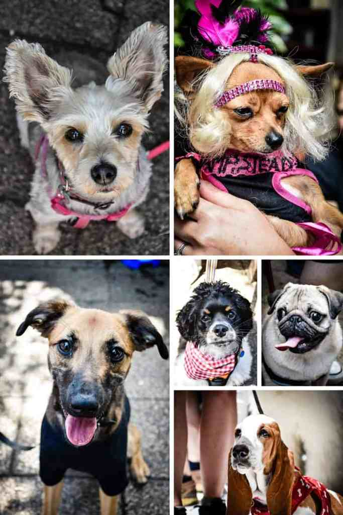 Pup Idol 2016 3