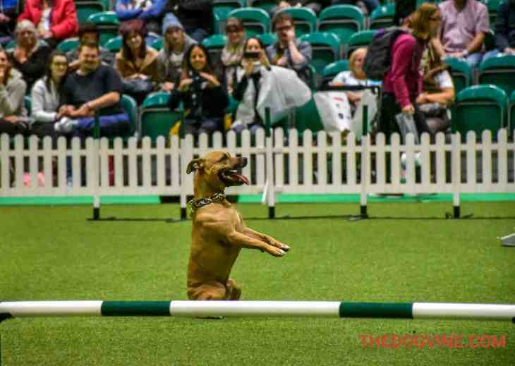 Discover Dogs 2016 - Staffie