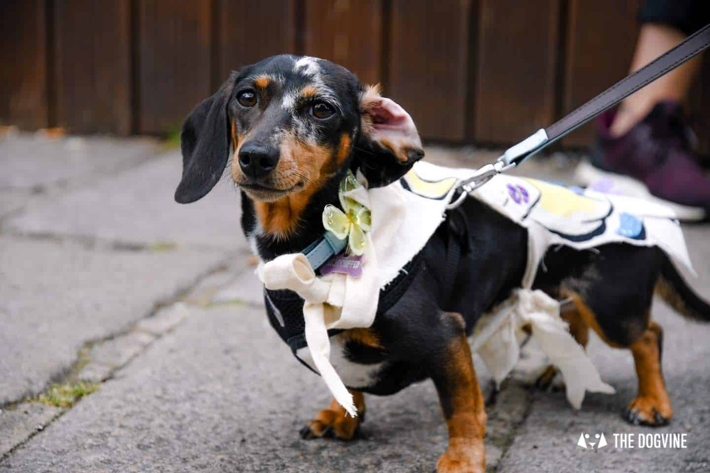 London's Best Dressed Dachshunds At Sausage Social London The Mad Hatters Tea Party 140