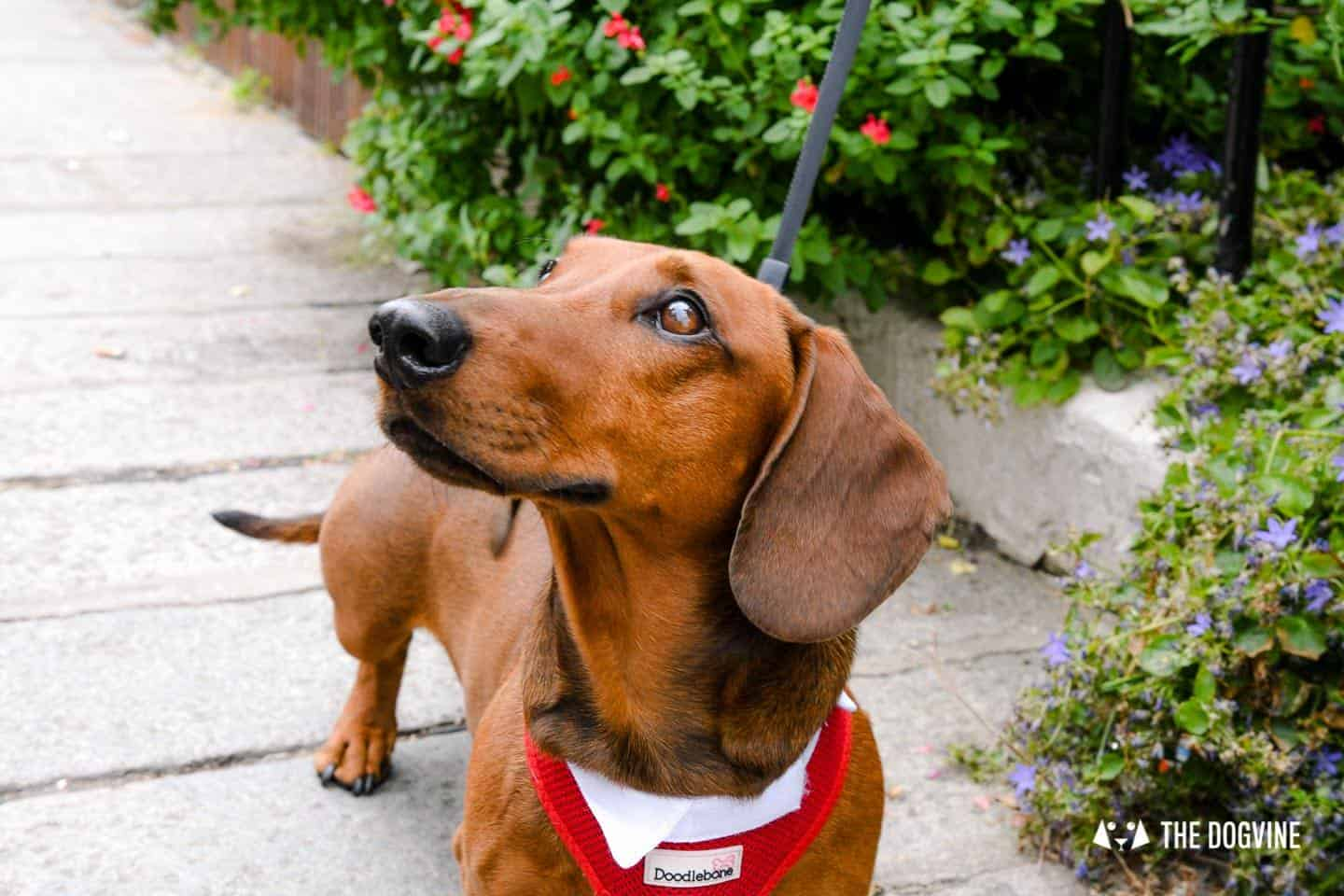 London's Best Dressed Dachshunds At Sausage Social London The Mad Hatters Tea Party 146
