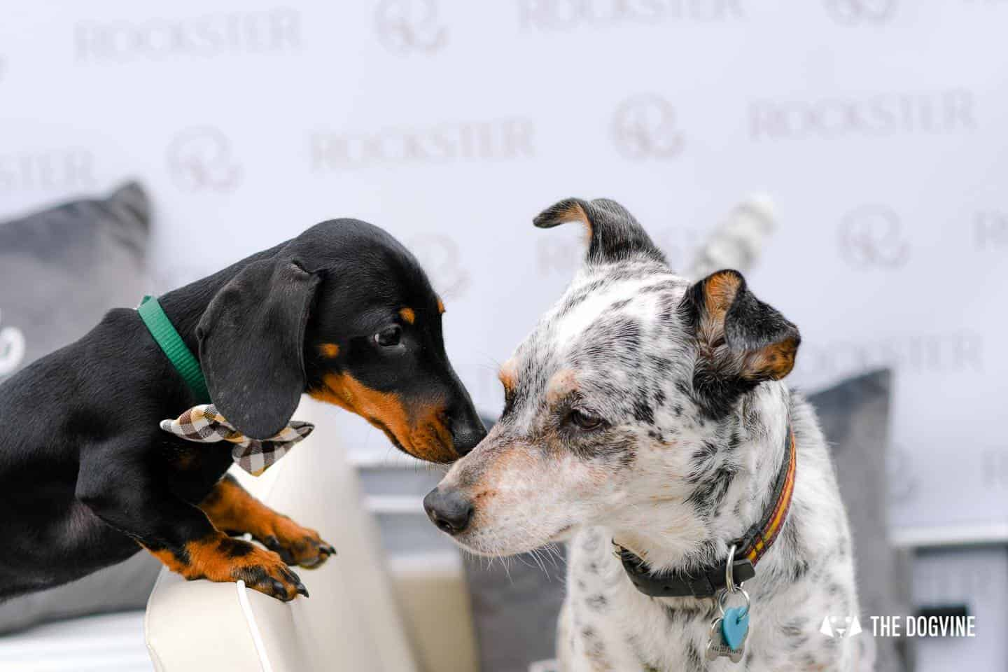 London's Best Dressed Dachshunds At Sausage Social London The Mad Hatters Tea Party 53