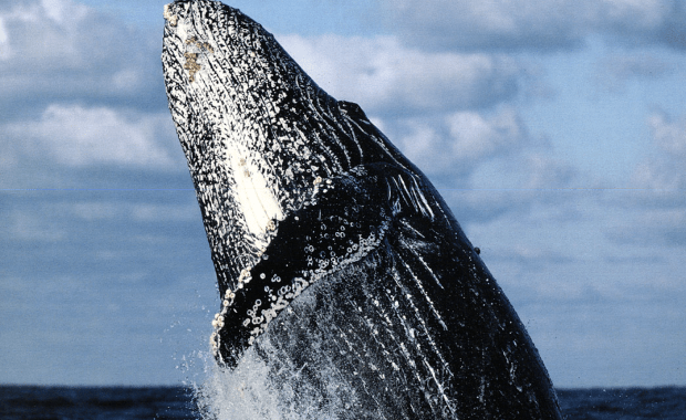 Humpback Whale Breeding Season 2018: A focus on Singers