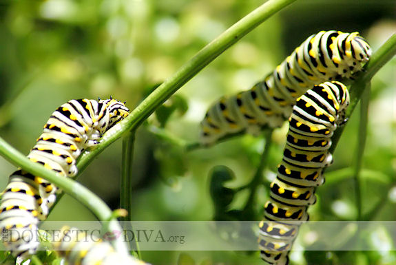 Green Caterpillar with Black Stripes and Yellow Dots eating Parsley