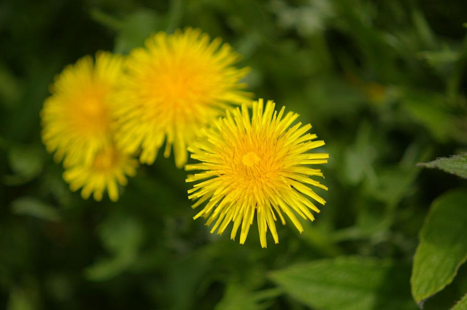 06-dandelions