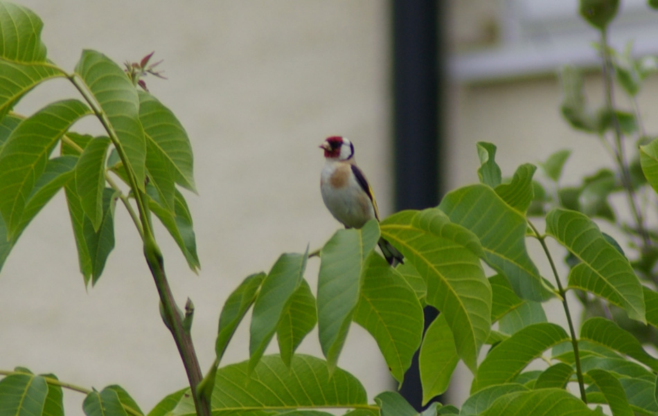 04_Goldfinch