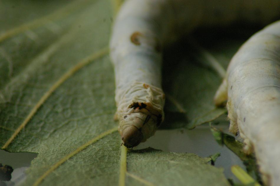 silkworm_buddies-1-3