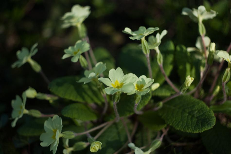 primroses-1