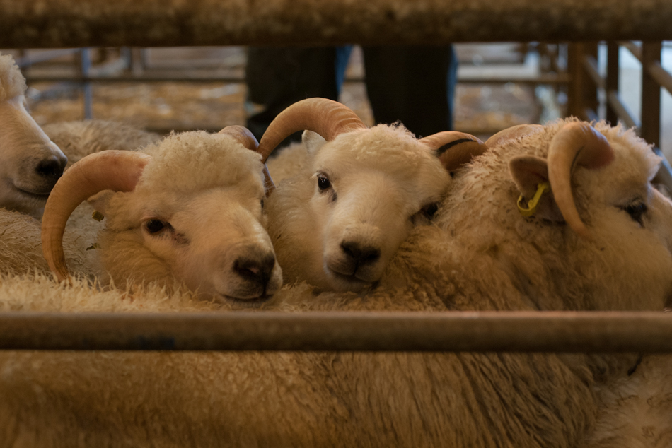 Ram lambs at The Flock Book