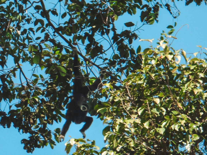 Gibbon mit Baby im Khao Yai Nationalpark